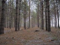 11月杉木森林 图库摄影