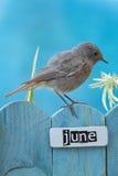 6月栖息的鸟装饰了篱芭 图库摄影