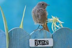 6月栖息的鸟装饰了篱芭 免版税库存图片
