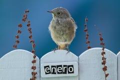 1月栖息的鸟装饰了篱芭 免版税库存照片