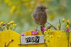 5月栖息的鸟装饰了篱芭 库存图片