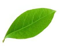 月桂树叶子 向量例证