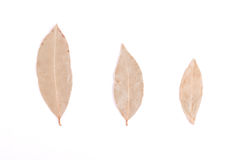 月桂树叶子 库存照片