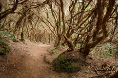月桂树森林, Anaga山,特内里费岛,西班牙 免版税库存照片