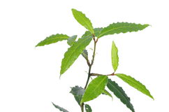 月桂树植物 免版税图库摄影
