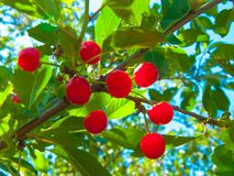 5月樱桃 水多的浆果 免版税库存图片