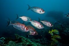 月牙尾巴一起游泳大眼鲷的鱼 免版税库存照片