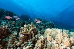 月牙尾标大眼鲷和热带礁石在红海。 库存照片
