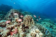 月牙尾标大眼鲷和热带礁石在红海。 库存图片