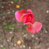 11月玫瑰花蕾 免版税库存照片