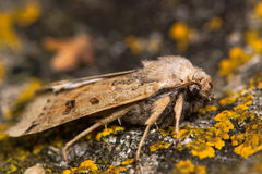 月球underwing的飞蛾(Omphaloscelis lunosa) 免版税库存图片