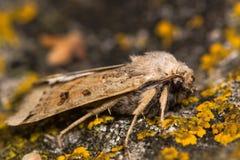 月球underwing的飞蛾(Omphaloscelis lunosa) 库存图片
