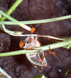 5月甲虫 库存照片