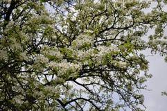 5月的引人入胜的精美梨颜色春天 库存图片