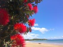 12月的Pohutukawa红色花开花 图库摄影