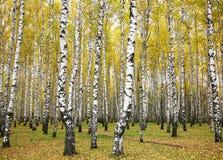 10月秋天桦树树丛 免版税库存图片