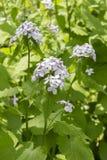 月经在小与叶子的花紫色桃红色白色长的词根群的rediviva绽放 药用植物庭院  免版税库存图片