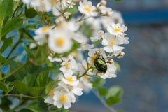 5月绿色在花的甲虫hrusch 免版税图库摄影