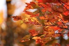 10月荣耀槭树背景 库存照片