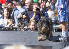 3月达克斯猎犬 免版税库存照片