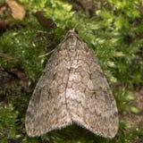 11月飞蛾(Epirrita dilutata) 免版税库存图片