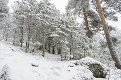 12月,多雪的杉木美好的风景与雾, N口岸的  库存图片
