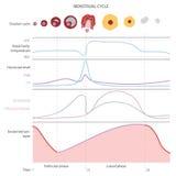 月经周期,显示变动激素, 库存图片