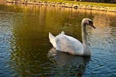 10月2015在湖的白色天鹅 库存照片
