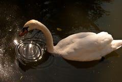 10月2015在湖的白色天鹅 免版税库存照片
