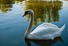 10月2015在湖的白色天鹅 免版税库存图片