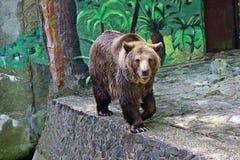 4月2007日熊冷因斯布鲁克下拉式休眠浇灌动物园 图库摄影