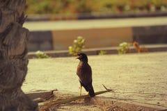 2017年6月21日的DUBAI-UNITED阿拉伯酋长管辖区 与开放峰顶的多数publer鸟在阿拉伯联合酋长国 免版税库存照片