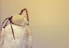 2017年6月21日的DUBAI-UNITED阿拉伯酋长管辖区 优等的图片射击了猎鹰鸟,用面具盖的眼睛 自然白色背景 免版税库存图片