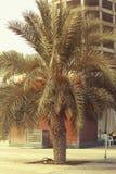 2017年6月21日的DUBAI-UNITED阿拉伯酋长管辖区 在阿吉曼小河附近的枣椰子树 免版税库存图片