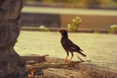 2017年6月21日的DUBAI-UNITED阿拉伯酋长管辖区 看某事直接与闭合的峰顶的多数publer鸟在阿拉伯联合酋长国 免版税库存照片
