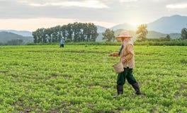 2015年10月21日的Phayao 农夫在与剧烈的天空的一个土豆领域工作 免版税库存图片