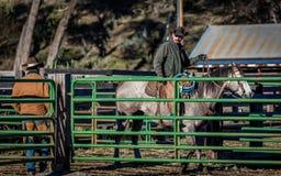 2017年4月22日,里奇韦科罗拉多:在烙记交换的牛期间的美国牛仔在百年大农场措辞,里奇韦,科罗拉多 免版税库存图片
