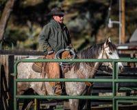 2017年4月22日,里奇韦科罗拉多:在烙记交换的牛期间的美国牛仔在百年大农场措辞,里奇韦,科罗拉多a 免版税库存图片