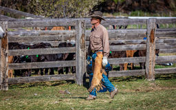 2017年4月22日,里奇韦科罗拉多:在烙记在百年大农场的牛期间的美国牛仔,里奇韦,百年Ranc的科罗拉多 免版税库存图片