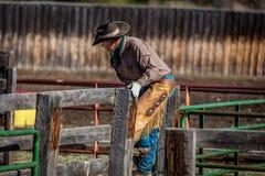 2017年4月22日,里奇韦科罗拉多:在烙记在百年大农场的牛期间的美国牛仔,里奇韦,百年Ranc的科罗拉多 免版税图库摄影