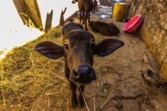 2014年11月08日:在Kumbhalgarh堡垒的小的公牛,印度 免版税库存照片