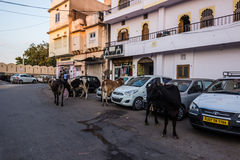 2014年11月07日:漫游在乌代浦,印度附近的母牛 库存图片