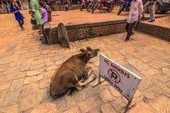 2014年8月18日-一头母牛在Bhaktapur,尼泊尔 免版税库存照片