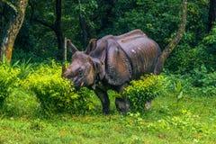 2014年9月02日-印地安犀牛在Chitwan国家公园,国家环境政策法案 免版税库存照片