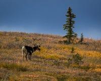 2016年8月27日-哺养在Denali国家公园,阿拉斯加内部的寒带草原的公牛北美驯鹿  库存图片