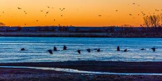 2017年3月8日-盛大海岛,内布拉斯加-普拉特河,美国迁移水家畜和Sandhill起重机是在他们的春天m 免版税库存照片