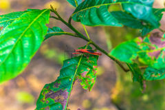 2014年9月03日-红色棉花臭虫在Chitwan国家公园, Ne 免版税库存照片