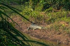 2014年9月03日- Gavial鳄鱼在Chitwan国家公园, 免版税库存图片