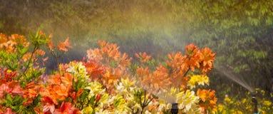 有一个全自动机械的灌溉系统的聪明的庭院,水杜娟花 库存照片