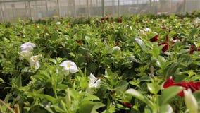 有一个大玻璃屋顶的温室,有花的,五颜六色的花明亮的现代温室自一间现代温室 股票视频